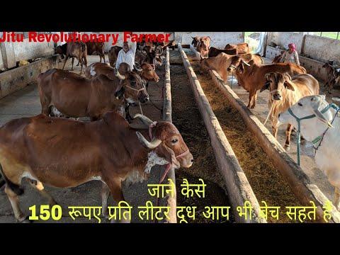 150 रुपये- प्रति लीटर दूध बिकता है इन गायों का दूध। Excellent PROFIT from Indeginous Breeds.