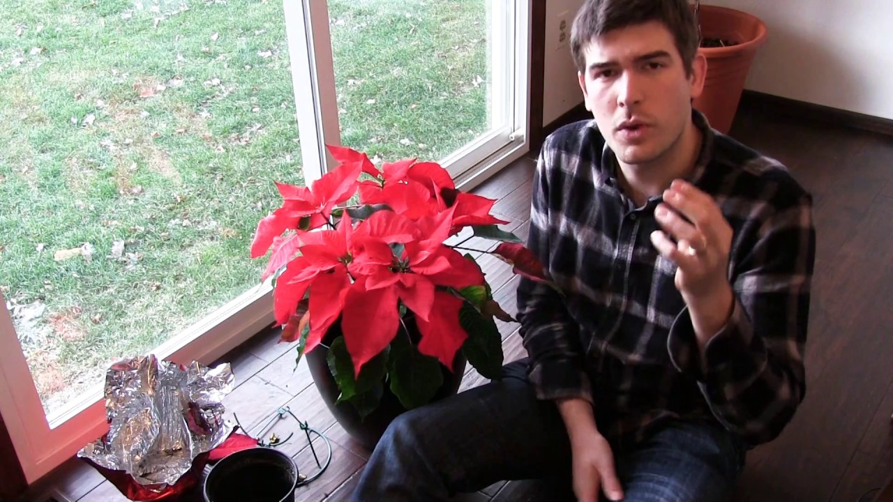 How To Grow Poinsettia Year Round Complete Growing Guide Youtube