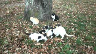 Голодные деревенские коты. Котлета.