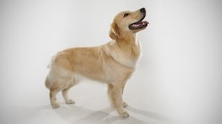 Abc Canino - Golden Retriever - Legendado Portugues.