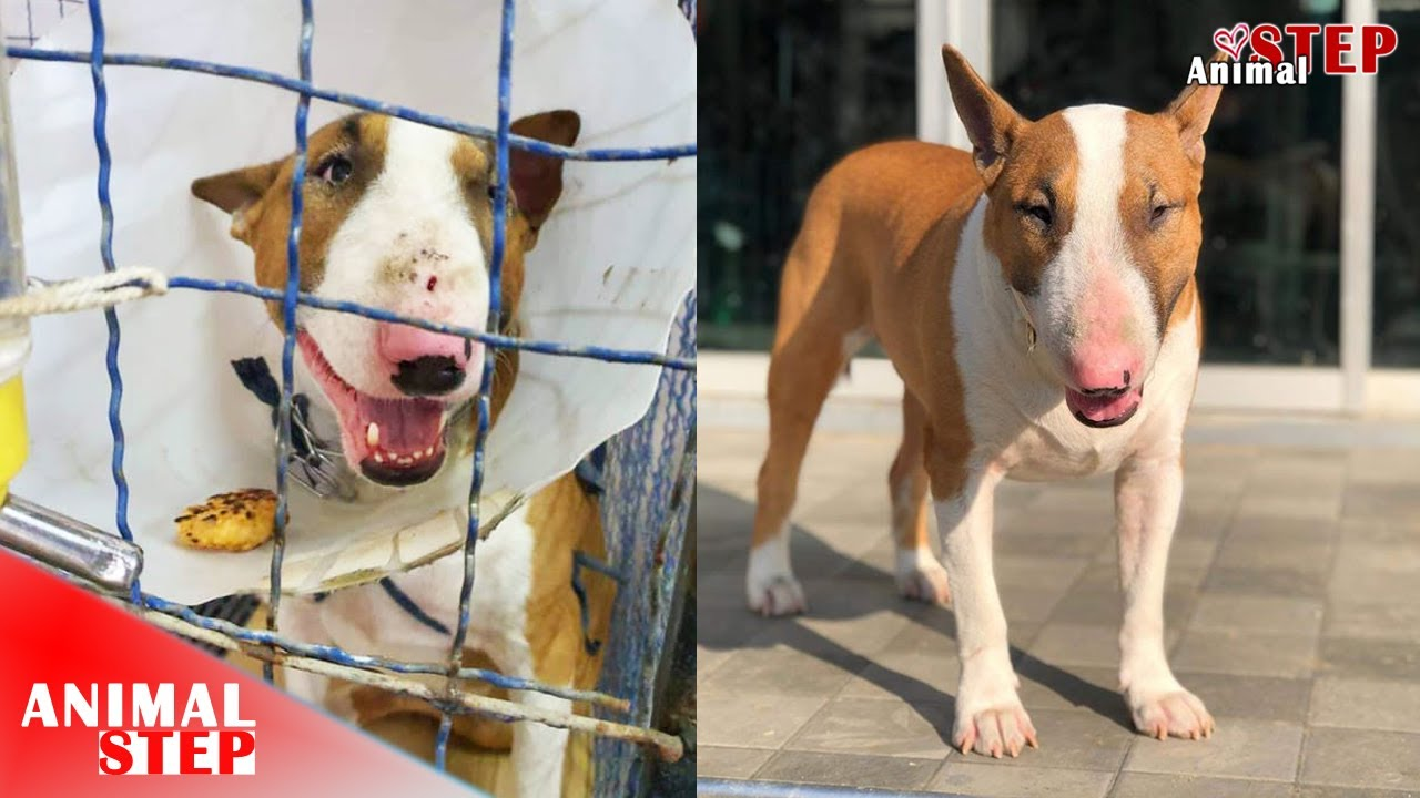 Rescue Poor Bull Terrier Dog Who Dumped