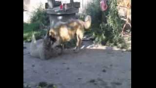 02 08 2013 Харуна и молодые собаки питомника!