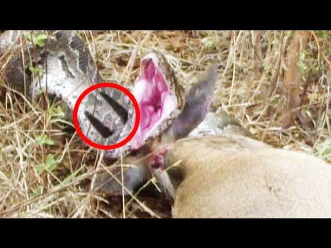 Python Tries To Escape Horns Piercing Through Head