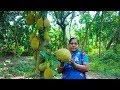 Village Food: Jackfruit with Shrimp Village Cooking Recipe | Village Food Life