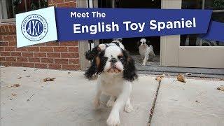 Meet the English Toy Spaniel