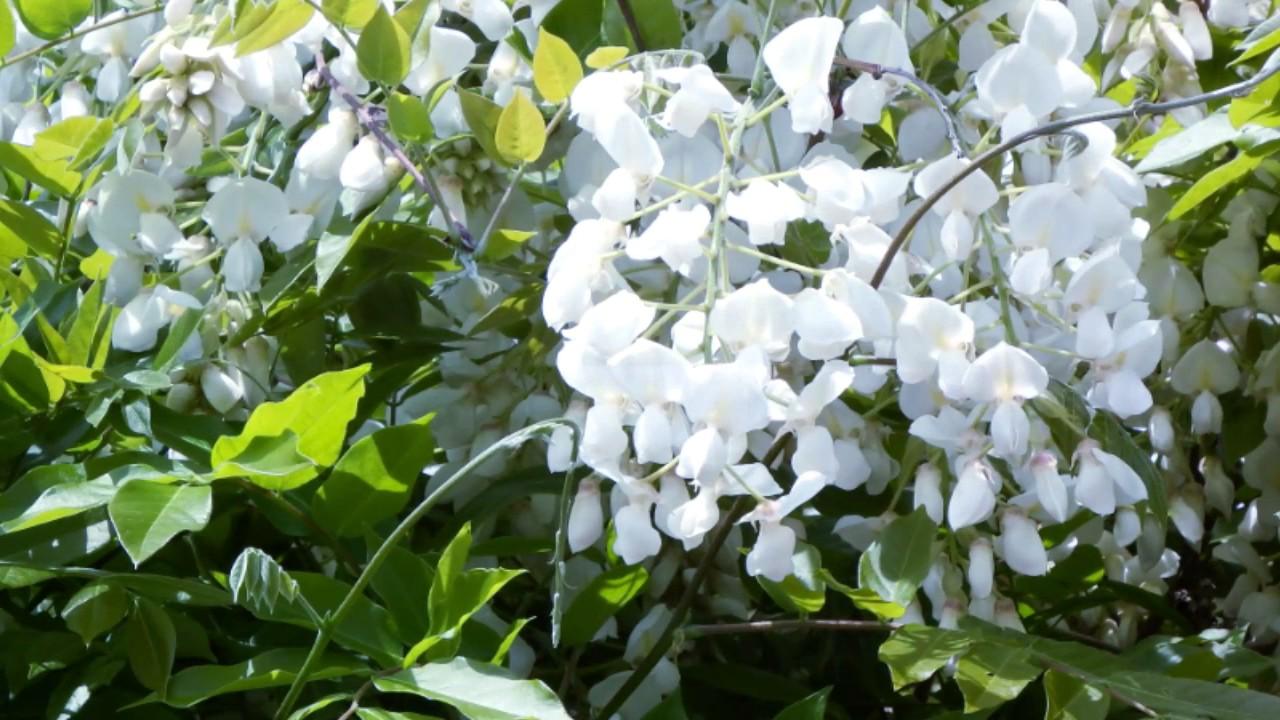 白藤の花(京都丹波亀岡) 京都丹波亀岡、內丸町自治會會議所の前庭に、白藤が植栽されており、今、満開 ...