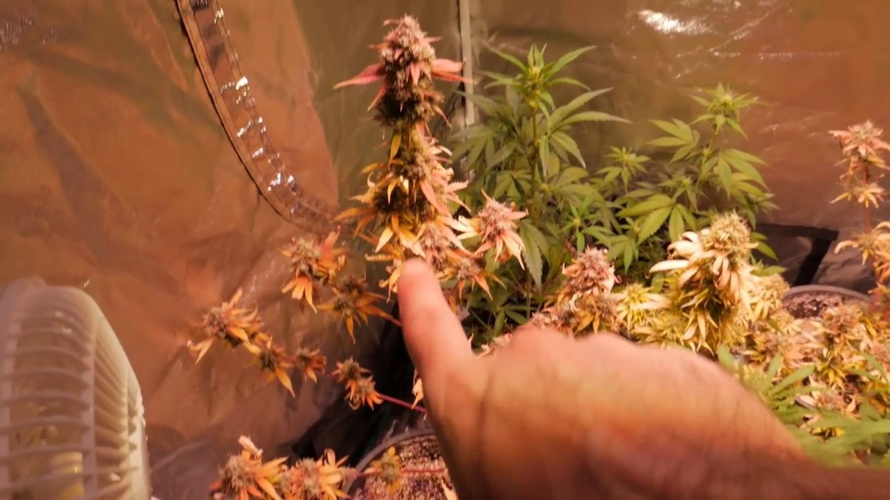 AUTOFLOWER CANNABIS HARVEST AND START OF FAST FLOWERING EXPERIMENT