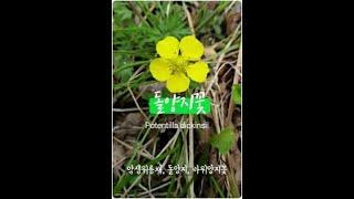 돌양지꽃 암생위릉채, 돌양지, 바위양지꽃, Potent…