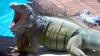 Are iguanas dangerous