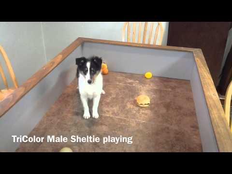 www.agreatdog.com Male Sheltie TriColor Puppy