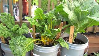 5 Gallon Container Plants (Full Size Examples): Kale, Chard, Peas, Lettuces & Tomatoes - TRG 2015