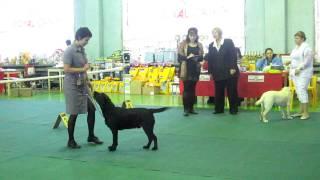лабрадоры щенки 04/12/11 киров выставка собак .MOV
