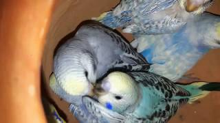 Father budgie feeding his babies