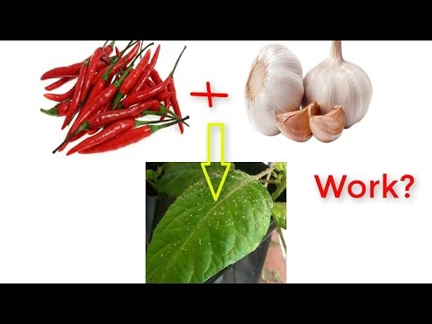 Natural Pesticide Of Garlic And Chili Work?  ( Review With Experiment)