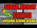 Sebab Akibat Dan Solusi Lovebird Sering Nebok  Mp3 - Mp4 Download