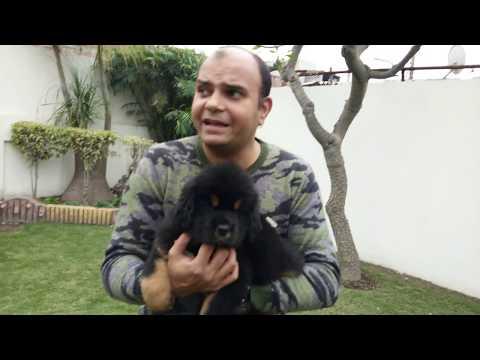 Tibetan Mastiff Puppy,The RISING of a GIANT/English subtitles Baadal Bhandaari Pathankot 9878474748