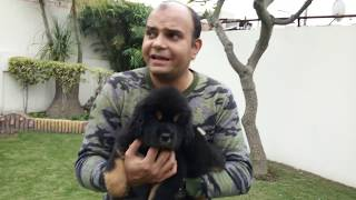 Tibetan Mastiff Puppy,The RISING of a GIANT/English subtitles Baadal Bhandaari Pathankot 9878474748