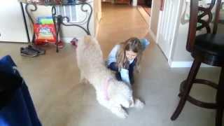 Should I Get A Goldendoodle - Gabby Learns To Bow - Dog Training
