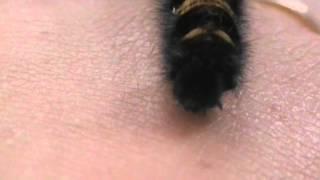Гусеница. Большая гусеница.(Волосатая большая гусеница снята в августе 2009 года., 2016-05-05T04:26:00.000Z)
