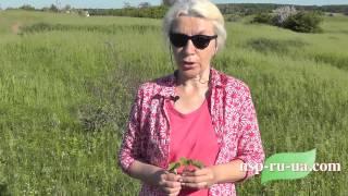 Рецепт травяного чая из листьев земляники