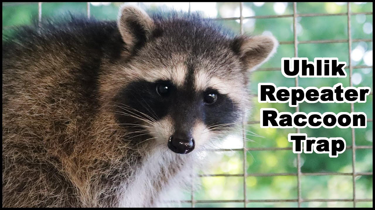 Today For Raccoon Trap Monday. The Uhlik Repeater Raccoon Trap. Mousetrap Monday.