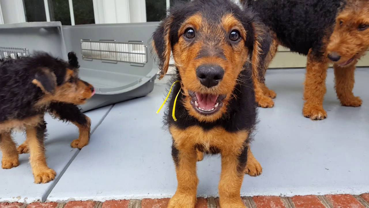 airedale terrier breeders airedale terrier puppies for sale video s s family 5573