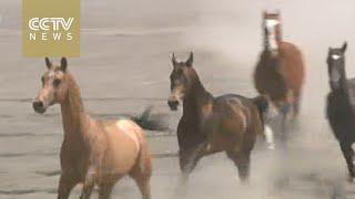 Silk Road Journey Xinijang: Akhal-teke horse business booms