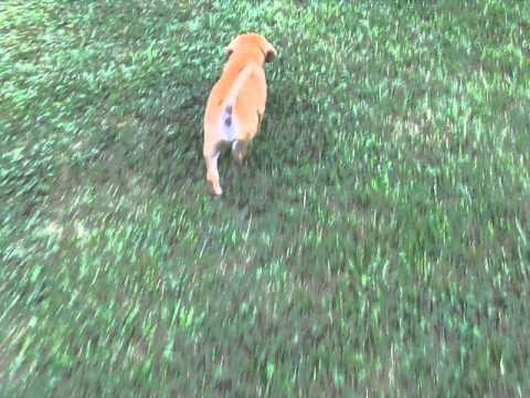 Roscoe - Male Boston Terrier Beagle Mix Puppy