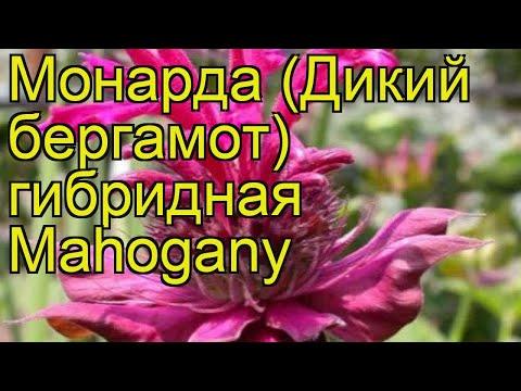 Монарда гибридная Махогани. Краткий обзор, описание характеристик мonarda hybrida Mahogany