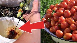 Глаза не поверят что это ваш урожай Весной летом и осенью подкормка 1 на огороде Гумат калия