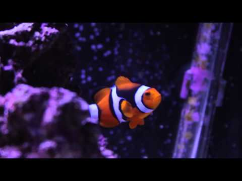The Real Life Nemo - Wild Caught Percula Clownfish