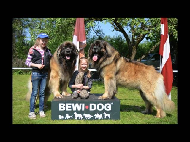 GOLDEN LEONBERGER 2016 HANDLING- CHILD & DOG