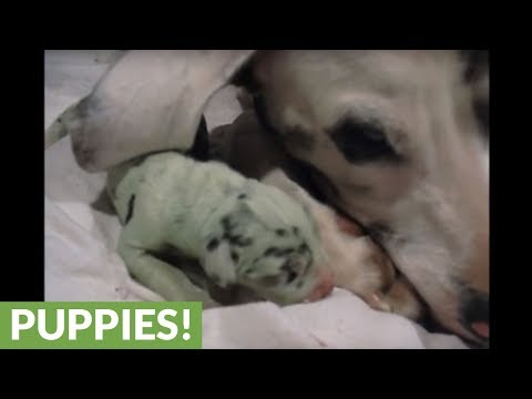 Melissa Forman in the Morning - Great Dane gives birth to a GREEN puppy