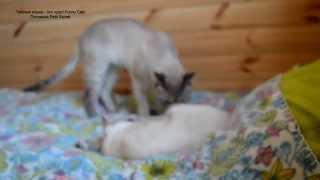 Улётное видео! Кошка кота прогнала, но спать уже не смогла! Тайские кошки - это чудо! Funny Cats