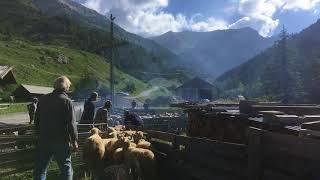 Ceillac, le bain des moutons