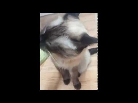 Cat Craving a Cucumber