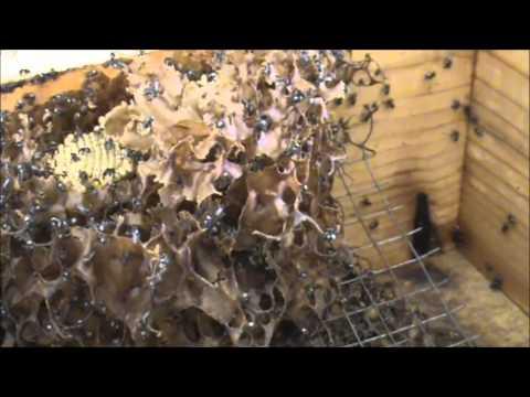 Trigona Stingless Native Beehives: #5 Hockingsi vs Carbonaria (Tetragonulas).