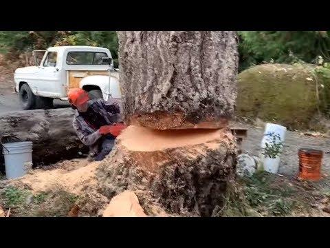 Young tree man falls his biggest dead tree