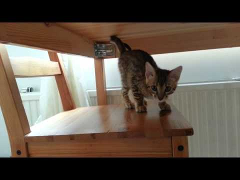 Sami the bengal cat - arrival day