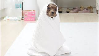 A burnt out dog after taking a bath (Eng sub)