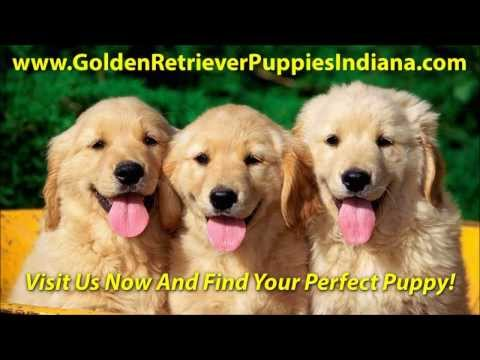 golden-retriever-puppies-indiana-for-sale---see-video!