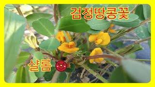 열매꽃,호랑이콩꽃,흑땅콩꽃,대파꽃,