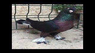 Gambar cover GELMİŞ GEÇMİŞ EN MÜKEMMEL GÜVERCİNLER,Musul-Kerkük Kostüm Kuşları,Seferli Oyun Kuşları,