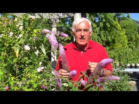 VOL.AT-Gartentipp: Sommerflieder und Hibiskus