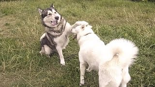 Вязка собак первый раз | Аляскинский Маламут и Американская Акита