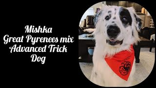 Mishka Advanced Trick Dog (Novice, Intermediate and Advanced tricks)