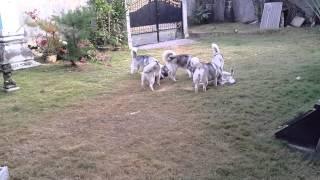 Play Together 13 Mahkota Siberian Husky Bali