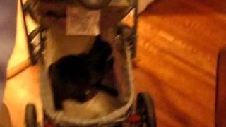 Gracie Loves Badger's Stroller