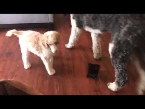 Isle of Standard Poodles Rio/Tux litter