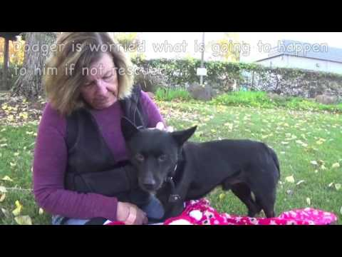 Please Help Save Dodger! 2 yr. Schipperke mix By December 7th!